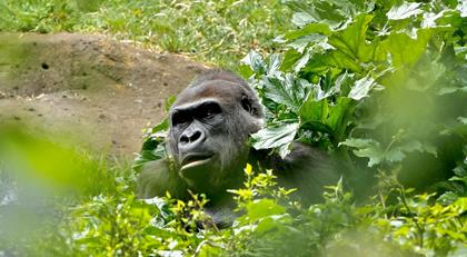 Gorilla in bushes with body covered by leaves