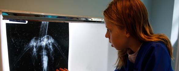 Student looking at an illuminated xray image of an animal.