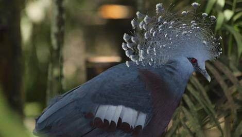 Grey Victoria Crowned Pigeon side on view.