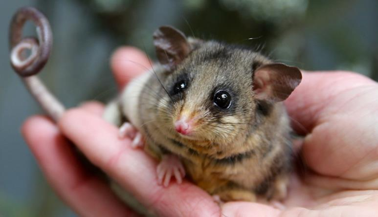Alert Mountain Pygmy-possum in a hand.