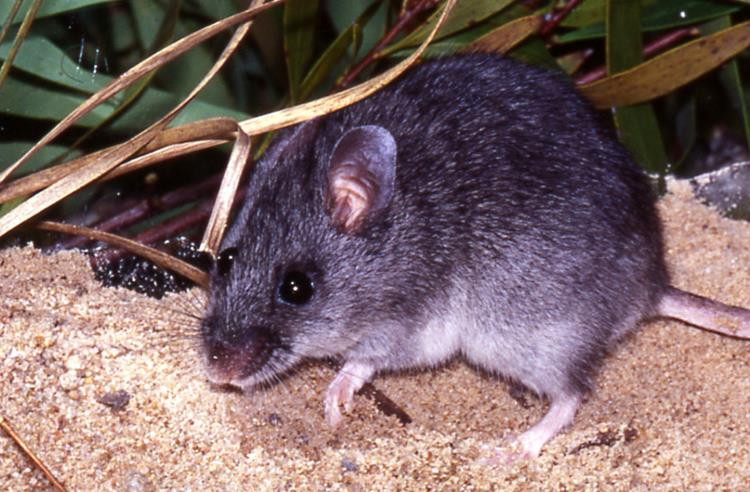 Smoky Mouse in a sandy habitat with grass and leaves in the background.