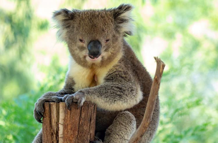 Sleepy Koala sitting at the top of a cut off tree looking towards the camera.