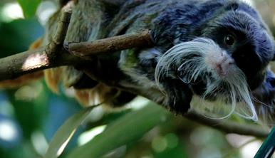 Emperor Tamarin in a branch holding a phone while looking at the camera. He is black with long white whiskers.