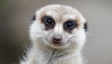 A close-up of a Meerkat, who is staring into the camera.