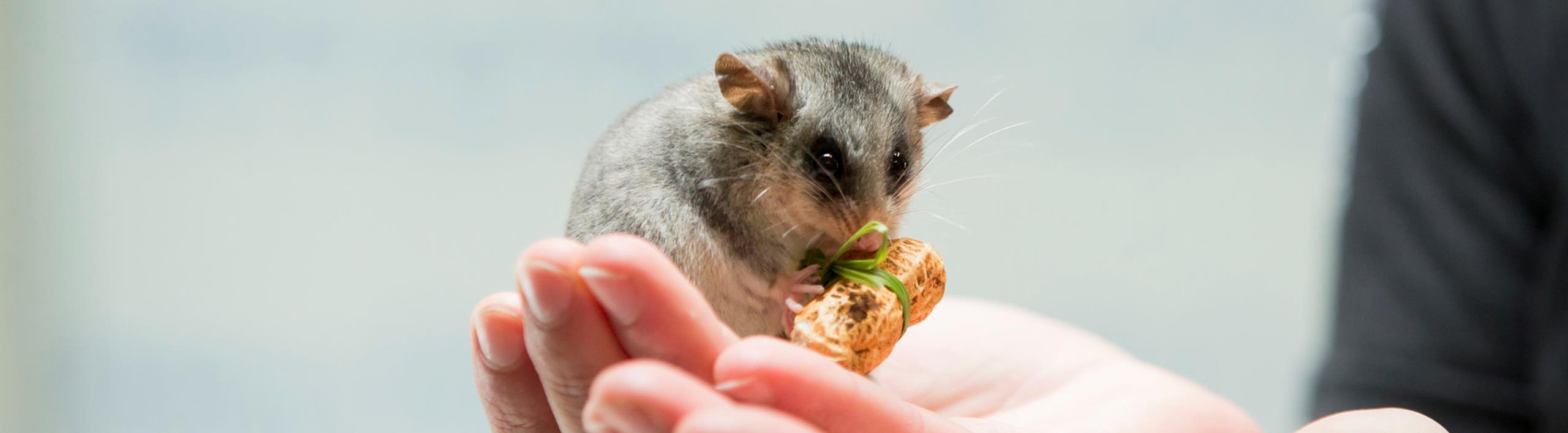 Close up of a Mountain Pygmy Possum sitting on a keepers hand. It is holding a peanut with a grass bow ties around it.
