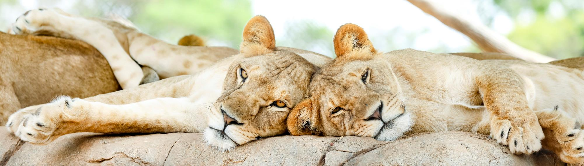 Two sleepy looking lion cubs laying with their heads together while sunning themselves on a rock.
