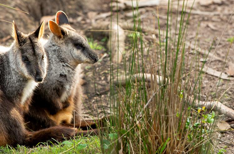 Two Brush-Tailed Rock Wallabies sitting together. They are leaning against a shrub.