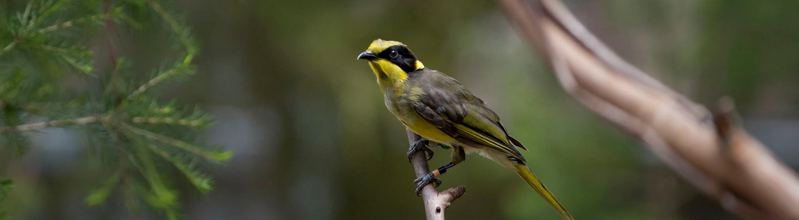 Young Helmeted Honeyeater sitting in a tree.