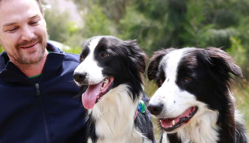 Two Border Collie faces looking towards camera while man looks at one of the dogs