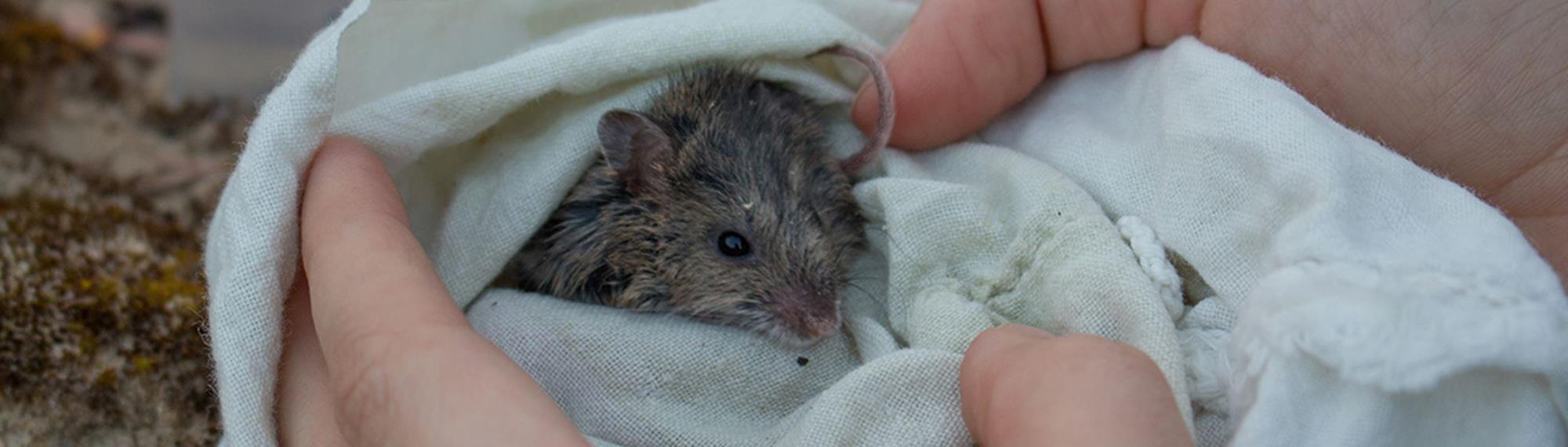 New Holland Mouse getting a health check wrapped in blanket with just its head peaking out.