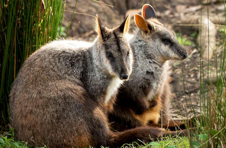 Brush Tailed Rock Wallabies resting in the grass.