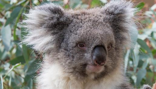 Close-up koala in a gum tree