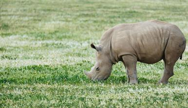 Baby rhino sniffing the grass