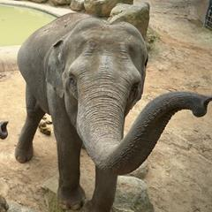 Two Asian Elephant with trunk raised as if reaching towards the camera.