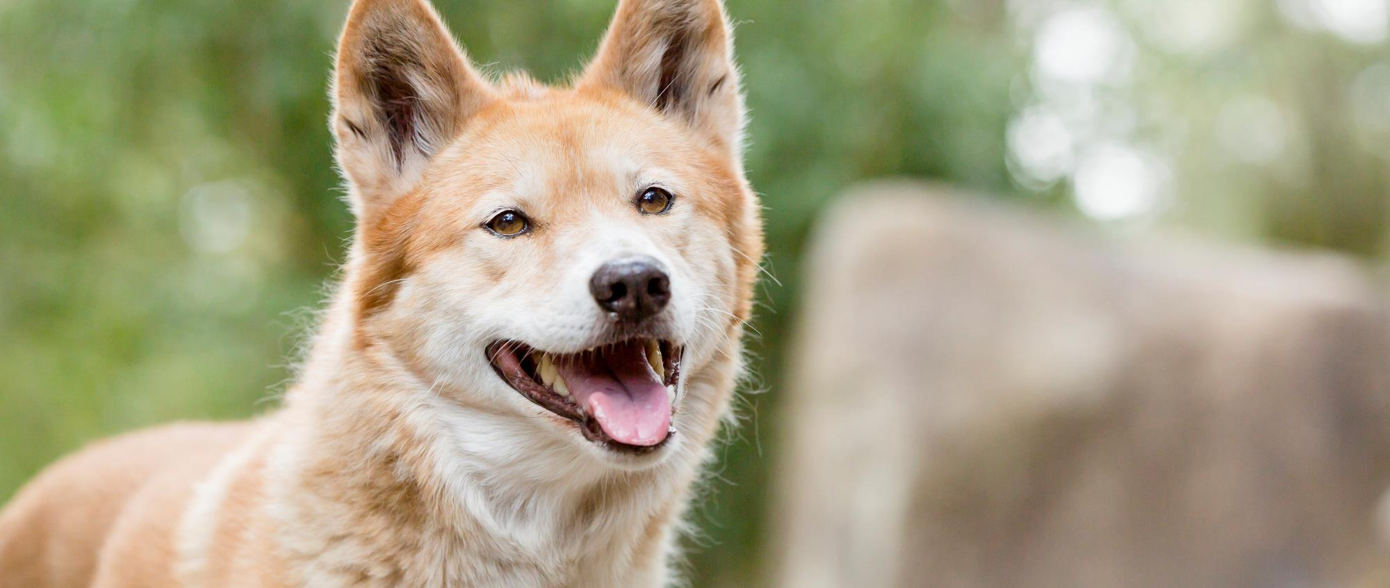 Happy looking dingo with ears pricked and its mouth open with pink tongue out.