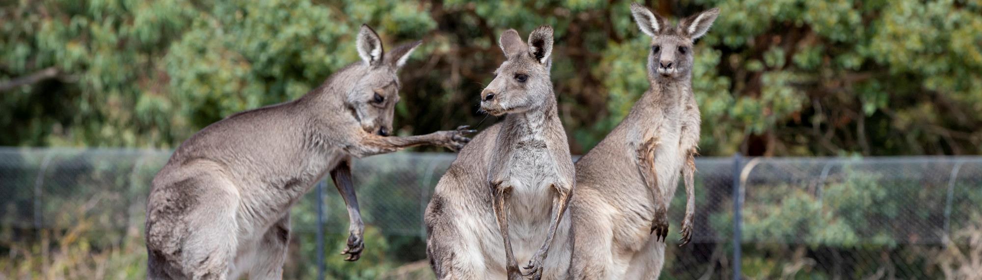 on sale 29040 c02c8 Kangaroo Tales Experience