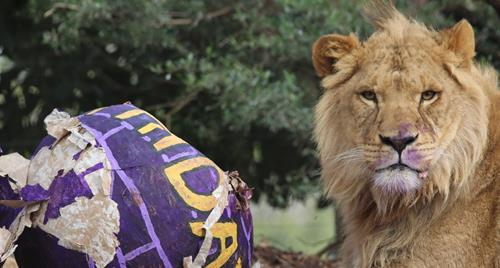 Lion cub laying down with a ripped apart purple papier-mâché igloo filled with enrichment items. Lion is looking at the camera with purple animal-friendly paint on his nose.