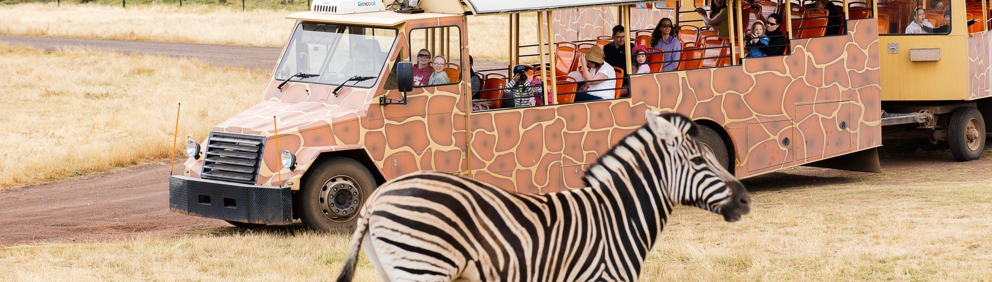 Visitors on a safari bus looking at a zebra on the Savannah at Werribee Zoo.