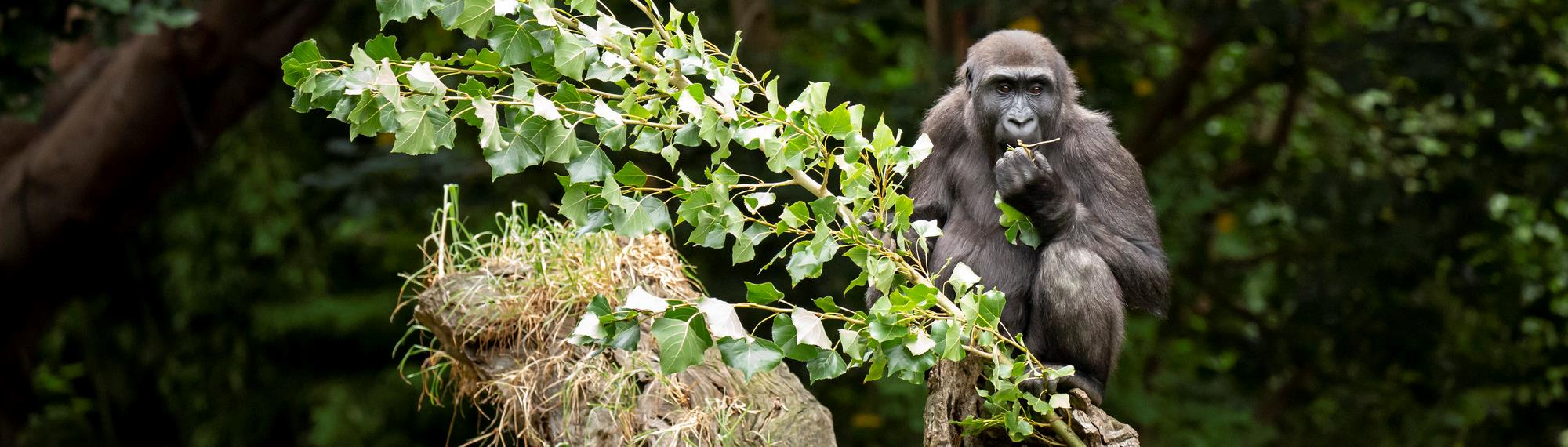 Young gorilla sitting on a log eating from a branch of fresh leaves.