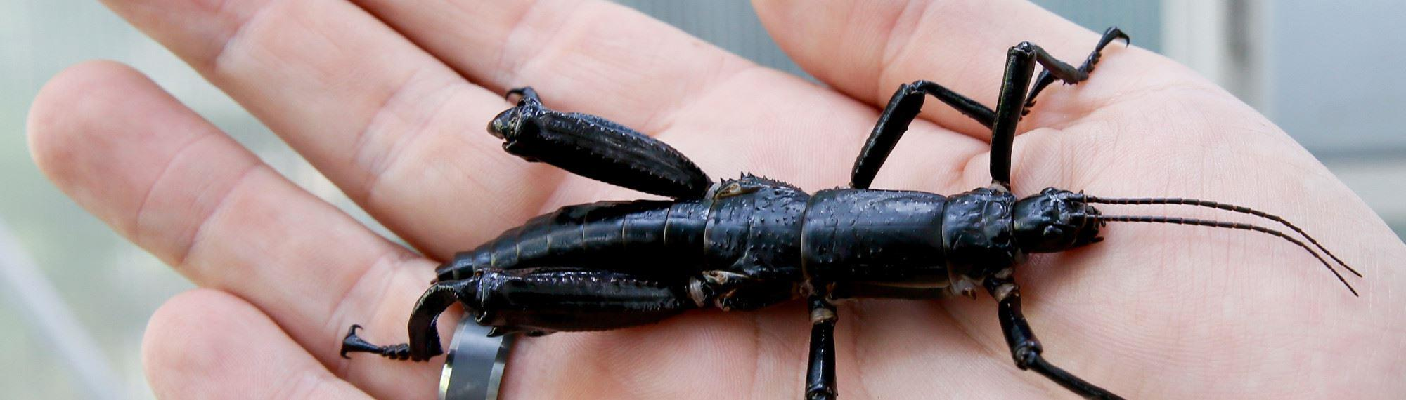 Lord Howe Island Stick Insect on a persons hand. The insect has six legs, a long black body and two antennas on its head.