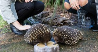 Two echidnas eating out of a bowl as two people crouch behind them
