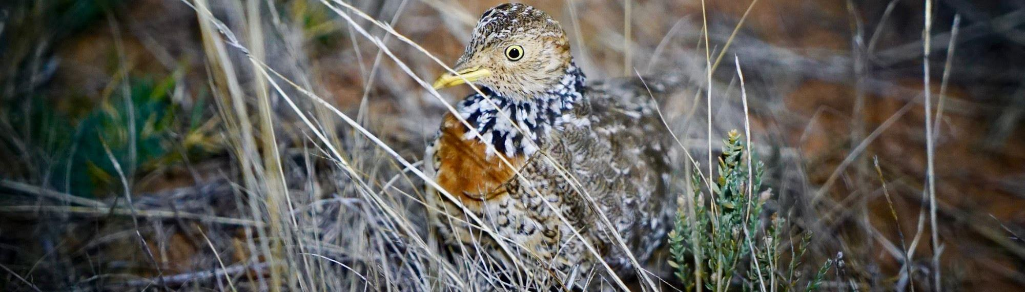 Plains Wanderer bird standing in dry grass. Side view of bird, with its body camouflaged in the grass,  looking toward camera.