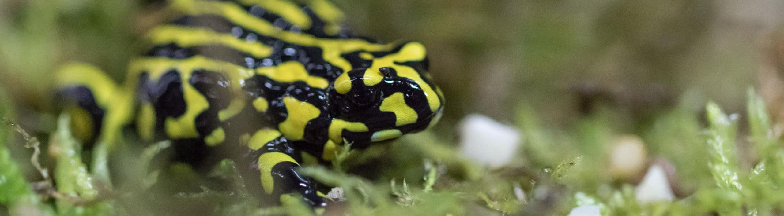 Southern Corroboree Frog standing on pale green moss. Frog is bright yellow and black striped.