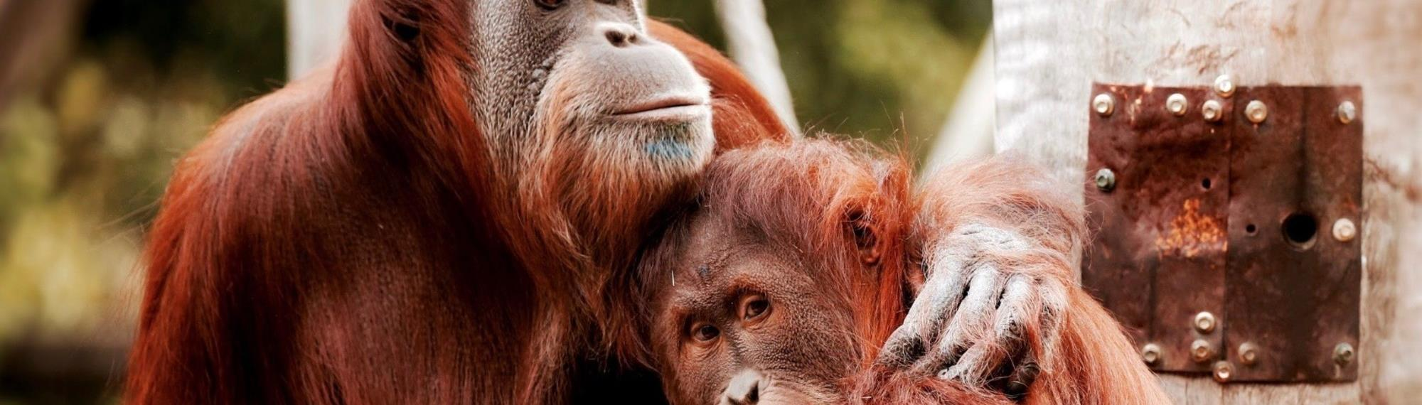 Two Sumatran Orang-utans hugging each other. They are orange in colour.