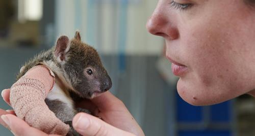 Small rescued baby koala orphan with plaster on its tiny broken arm. A vet holds it gently while doing a health check.